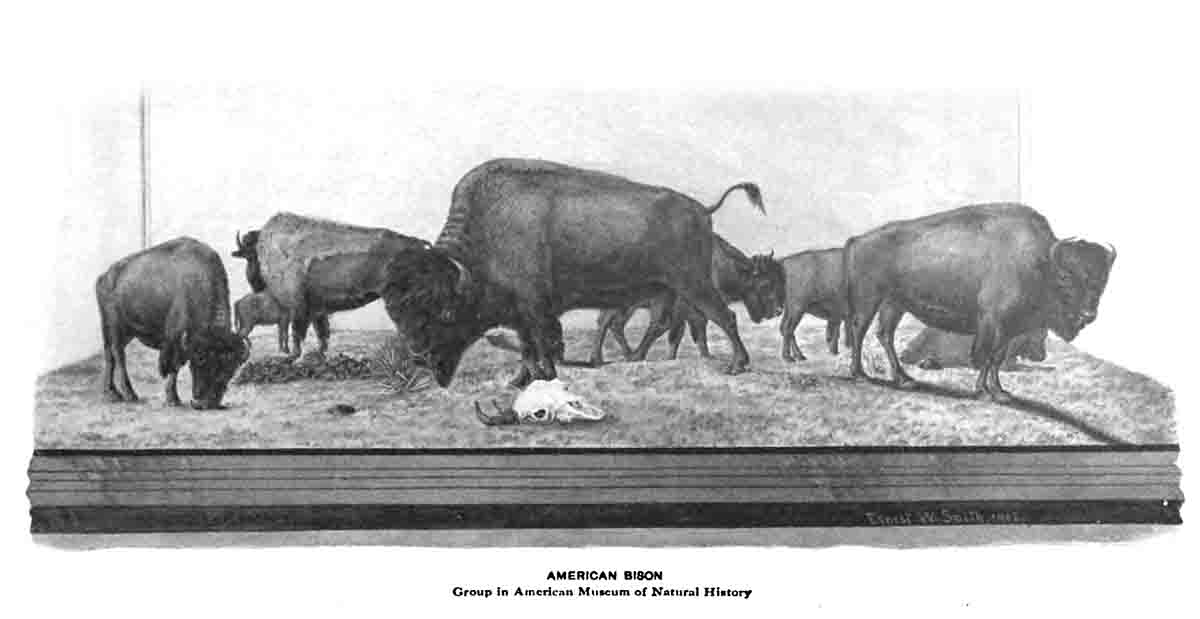 Buffalo Display American Museum of Natural History